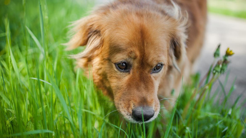 Aristele (spicele de iarba) pot rani cainii